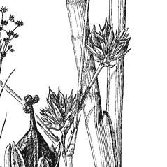 Stems and sheaths: Juncus articulatus. ~ By Mary Barnes Pomeroy. ~ Copyright © 2020 Estate of Herbert Mason. ~ Any use permitted ~ Mason, HL. 1957. A flora of the Marshes of California. U. of California Press, Berkeley and Los Angeles, Library of Congress number 57-7960