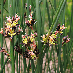 Flowers and fruits: Juncus balticus. ~ By Marilee Lovit. ~ Copyright © 2021 Marilee Lovit. ~ lovitm[at]gmail.com