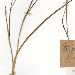 Leaves and auricles: Juncus biflorus. ~ By CONN Herbarium. ~ Copyright © 2020 CONN Herbarium. ~ Requests for image use not currently accepted by copyright holder ~ U. of Connecticut Herbarium - bgbaseserver.eeb.uconn.edu/