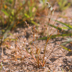 Plant form: Juncus bufonius. ~ By Arthur Haines. ~ Copyright © 2020. ~ arthurhaines[at]wildblue.net