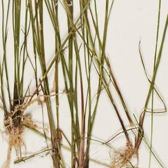 Leaves and auricles: Juncus diffusissimus. ~ By Troy University Herbarium. ~ Copyright © 2021. ~ Brian Keener, bkeener[at]uwa.edu ~ Troy U. Herbarium