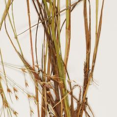 Stems and sheaths: Juncus diffusissimus. ~ By Troy University Herbarium. ~ Copyright © 2021. ~ Brian Keener, bkeener[at]uwa.edu ~ Troy U. Herbarium
