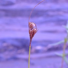 Flowers and fruits: Juncus dudleyi. ~ By Arthur Haines. ~ Copyright © 2020. ~ arthurhaines[at]wildblue.net