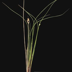 Plant form: Juncus dudleyi. ~ By Leonel Velasquez. ~ Copyright © 2020 CC BY-NC. ~  ~ www.findingspecies.org