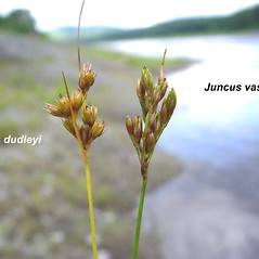 Comparison: Juncus dudleyi. ~ By Donald Cameron. ~ Copyright © 2021 Donald Cameron. ~ No permission needed for non-commercial uses, with proper credit
