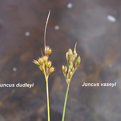 Comparison: Juncus dudleyi. ~ By Donald Cameron. ~ Copyright © 2020 Donald Cameron. ~ No permission needed for non-commercial uses, with proper credit