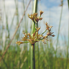 Inflorescences: Juncus effusus. ~ By Glen Mittelhauser. ~ Copyright © 2021 Glen Mittelhauser. ~ www.mainenaturalhistory.org