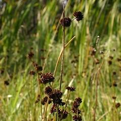 Inflorescences: Juncus ensifolius. ~ By Steve Garske. ~ Copyright © 2020 Steve Garske. ~ asimina[at]alphacomm.net