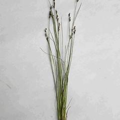 Plant form: Juncus gerardii. ~ By Jill Weber. ~ Copyright © 2021 Jill Weber. ~ jillweber03[at]gmail.com