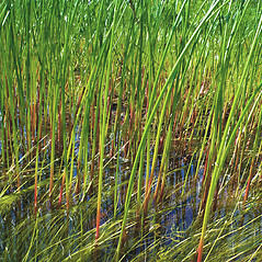 Stems and sheaths: Juncus militaris. ~ By Donna Kausen. ~ Copyright © 2020 Donna Kausen. ~ 33 Bears Den, Addison, ME 04606