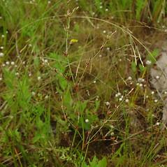 Inflorescences: Juncus pelocarpus. ~ By Glen Mittelhauser. ~ Copyright © 2019 Glen Mittelhauser. ~ www.mainenaturalhistory.org