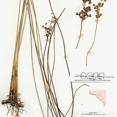 Plant form: Juncus pervetus. ~ By CONN Herbarium. ~ Copyright © 2020 CONN Herbarium. ~ Requests for image use not currently accepted by copyright holder ~ U. of Connecticut Herbarium - bgbaseserver.eeb.uconn.edu/