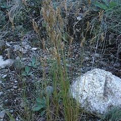 Plant form: Juncus secundus. ~ By Jill Weber. ~ Copyright © 2020 Jill Weber. ~ jillweber03[at]gmail.com