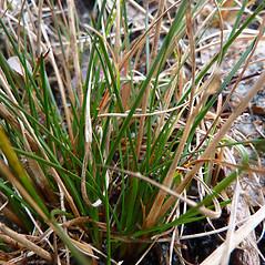 Leaves and auricles: Juncus secundus. ~ By Jill Weber. ~ Copyright © 2020 Jill Weber. ~ jillweber03[at]gmail.com