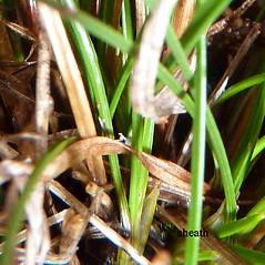 Stems and sheaths: Juncus secundus. ~ By Jill Weber. ~ Copyright © 2020 Jill Weber. ~ jillweber03[at]gmail.com