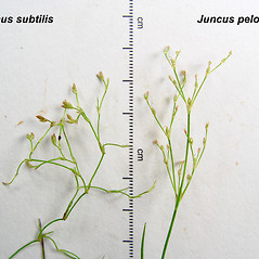 Comparison: Juncus subtilis. ~ By Donald Cameron. ~ Copyright © 2020 Donald Cameron. ~ No permission needed for non-commercial uses, with proper credit