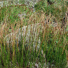 Plant form: Juncus trifidus. ~ By Arthur Haines. ~ Copyright © 2021. ~ arthurhaines[at]wildblue.net