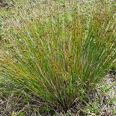 Plant form: Juncus trifidus. ~ By Glen Mittelhauser. ~ Copyright © 2019 Glen Mittelhauser. ~ www.mainenaturalhistory.org