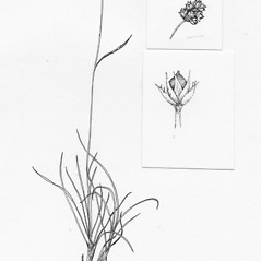 Plant form: Luzula confusa. ~ By Tess Feltes. ~  Public Domain. ~  ~ U. of New Hampshire