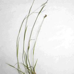 Plant form: Luzula multiflora. ~ By Jill Weber. ~ Copyright © 2020 Jill Weber. ~ jillweber03[at]gmail.com