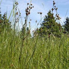 Plant form: Luzula multiflora. ~ By Jill Weber. ~ Copyright © 2021 Jill Weber. ~ jillweber03[at]gmail.com
