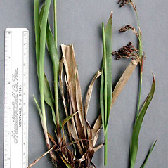 Stems and sheaths: Luzula parviflora. ~ By Bud Kovalchik. ~ Copyright © 2021 Bud Kovalchik. ~ bkovalchik7[at]gmail.com ~ U. of Washington - WTU - Herbarium - biology.burke.washington.edu/herbarium/imagecollection.php