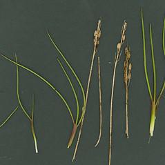 Plant form: Triglochin gaspensis. ~ By Glen Mittelhauser. ~ Copyright © 2019 Glen Mittelhauser. ~ www.mainenaturalhistory.org
