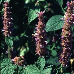 Flowers: Agastache foeniculum. ~ By Robert Freckmann. ~ Copyright © 2020 Robert Freckmann. ~ rfreckma[at]uwsp.edu ~ Robert W. Freckmann Herbarium, U. of Wisconsin-Stevens Point