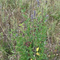 Plant form: Agastache foeniculum. ~ By Keir Morse. ~ Copyright © 2021 Keir Morse. ~ www.keiriosity.com ~ www.keiriosity.com