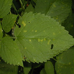 Leaves: Agastache nepetoides. ~ By John Hilty. ~ Copyright © 2021 John Hilty. ~ john[at]illinoiswildflowers.info ~ Illinois Wildflowers - www.illinoiswildflowers.info/index.htm