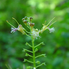 Flowers: Collinsonia canadensis. ~ By Arthur Haines. ~ Copyright © 2021. ~ arthurhaines[at]wildblue.net