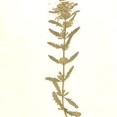 Plant form: Dracocephalum moldavica. ~ By Botanic Garden and Botanical Museum Berlin-Dahlem. ~ Copyright © 2021 CC BY-SA. ~  ~ Botanic Garden and Botanical Museum Berlin-Dahlem - ww2.bgbm.org/Herbarium/default.cfm