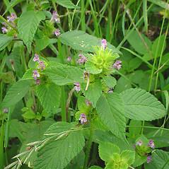 Plant form: Galeopsis bifida. ~ By Glen Mittelhauser. ~ Copyright © 2020 Glen Mittelhauser. ~ www.mainenaturalhistory.org
