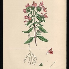 Plant form: Galeopsis ladanum. ~ By James Sowerby. ~  Public Domain. ~  ~ Robert W. Freckmann Herbarium, U. of Wisconsin-Stevens Point