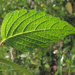 Leaves: Galeopsis tetrahit. ~ By Marilee Lovit. ~ Copyright © 2020 Marilee Lovit. ~ lovitm[at]gmail.com