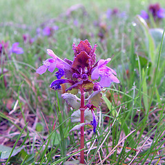 Flowers: Glechoma hederacea. ~ By Arthur Haines. ~ Copyright © 2021. ~ arthurhaines[at]wildblue.net