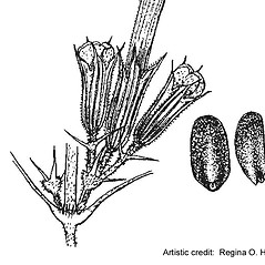 Fruits: Glechoma hederacea. ~ By Regina O. Hughes. ~  Public Domain. ~  ~ Reed, C.F. 1970. Selected weeds of the United States. USDA Agric. Res. Ser. Agric. Handbook 336
