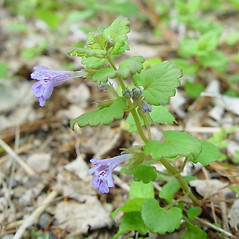 Plant form: Glechoma hederacea. ~ By Arthur Haines. ~ Copyright © 2020. ~ arthurhaines[at]wildblue.net