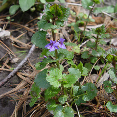 Plant form: Glechoma hederacea. ~ By Donald Cameron. ~ Copyright © 2021 Donald Cameron. ~ No permission needed for non-commercial uses, with proper credit