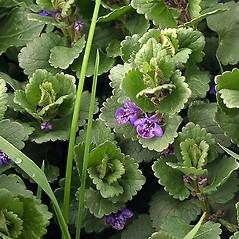 Leaves: Glechoma hederacea. ~ By Paul S. Drobot. ~ Copyright © 2021 Paul S. Drobot. ~ www.plantstogrow.com, www.plantstockphotos.com ~ Robert W. Freckmann Herbarium, U. of Wisconsin-Stevens Point