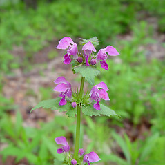 Flowers: Lamium maculatum. ~ By Arthur Haines. ~ Copyright © 2020. ~ arthurhaines[at]wildblue.net