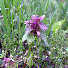 Flowers: Lamium purpureum. ~ By Arthur Haines. ~ Copyright © 2021. ~ arthurhaines[at]wildblue.net