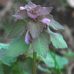 Plant form: Lamium purpureum. ~ By Bryan Hamlin. ~ Copyright © 2021 Bryan Hamlin. ~ bryanthamlin[at]gmail.com