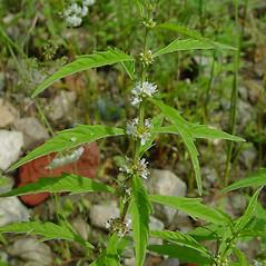 Plant form: Lycopus americanus. ~ By Arthur Haines. ~ Copyright © 2020. ~ arthurhaines[at]wildblue.net