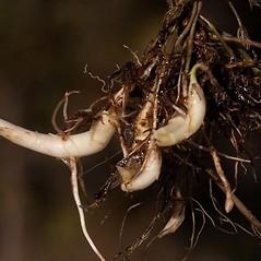 Additional features: Lycopus rubellus. ~ By John Gwaltney. ~ Copyright © 2021 John Gwaltney. ~ southeasternflora.com ~ Southeastern Flora - www.southeasternflora.com/