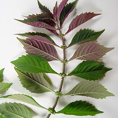 Leaves: Lycopus virginicus. ~ By Donald Cameron. ~ Copyright © 2020 Donald Cameron. ~ No permission needed for non-commercial uses, with proper credit