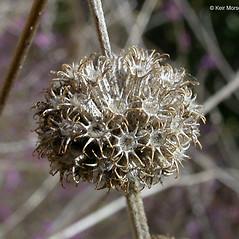 Fruits: Marrubium vulgare. ~ By Keir Morse. ~ Copyright © 2020 Keir Morse. ~ www.keiriosity.com ~ www.keiriosity.com