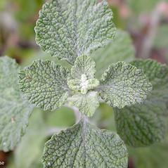 Leaves: Marrubium vulgare. ~ By Keir Morse. ~ Copyright © 2020 Keir Morse. ~ www.keiriosity.com ~ www.keiriosity.com