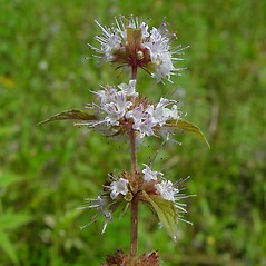 Flowers: Mentha canadensis. ~ By Arthur Haines. ~ Copyright © 2020. ~ arthurhaines[at]wildblue.net