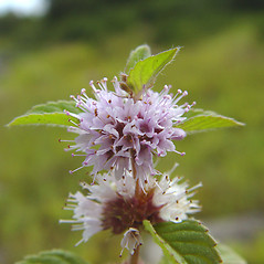 Flowers: Mentha canadensis. ~ By Donald Cameron. ~ Copyright © 2020 Donald Cameron. ~ No permission needed for non-commercial uses, with proper credit